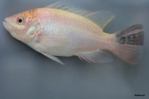 Red-Tilapia-Aquarium-2