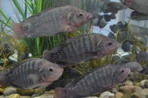 Tilapia augusta im Aquarium